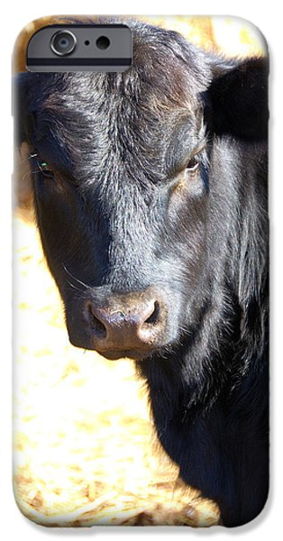 Overo iPhone Cases - Black Angus Heifer iPhone Case by Thea Wolff