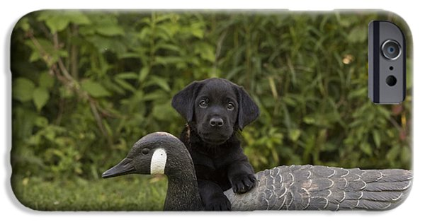 Chocolate Lab iPhone Cases - Black Labrador Retriever And Goose Decoy iPhone Case by Linda Freshwaters Arndt
