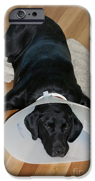 Pet Care iPhone Cases - Black Labrador With Elizabethan Collar iPhone Case by William H. Mullins