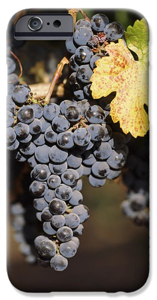 Red Wine iPhone Cases - Cabernet Sauvignon Grapes In Vineyard iPhone Case by Panoramic Images