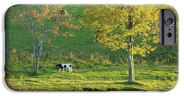 New England Dairy Farms iPhone Cases - Calf On A Farm fall Maine iPhone Case by Keith Webber Jr