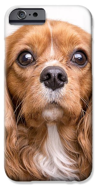 Dogs iPhone Cases - Cavalier King Charles Spaniel Puppy iPhone Case by Edward Fielding