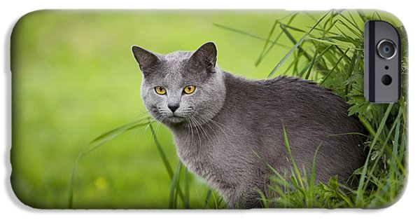 Gray Hair iPhone Cases - Chartreux Cat iPhone Case by Jean-Michel Labat