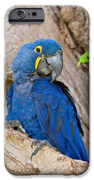 Wild Animals iPhone Cases - Close-up Of A Hyacinth Macaw iPhone Case by Panoramic Images