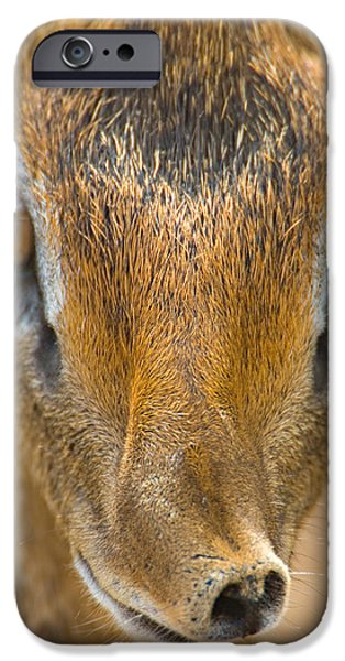 Tarangire iPhone Cases - Close-up Of A Kirks Dik-dik, Tarangire iPhone Case by Panoramic Images