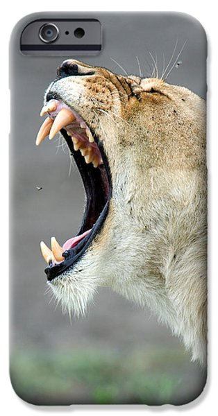 East Africa Photographs iPhone Cases - Close-up Of A Lioness Panthera Leo iPhone Case by Panoramic Images