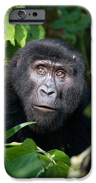 Wild Animals iPhone Cases - Close-up Of A Mountain Gorilla Gorilla iPhone Case by Panoramic Images