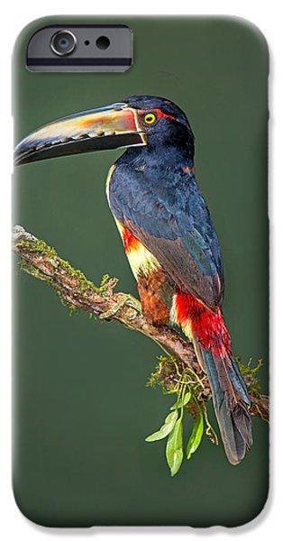 Birds iPhone Cases - Collared Aracari Pteroglossus Torquatus iPhone Case by Panoramic Images