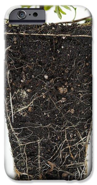 Biden iPhone Cases - Dwarf Yellow Bidens In Studio iPhone Case by Jim Corwin