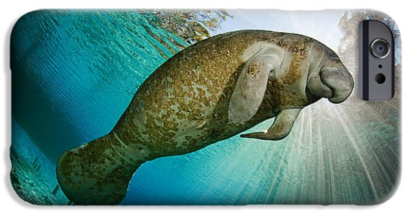 Alga iPhone Cases - Florida Manatee iPhone Case by David Fleetham