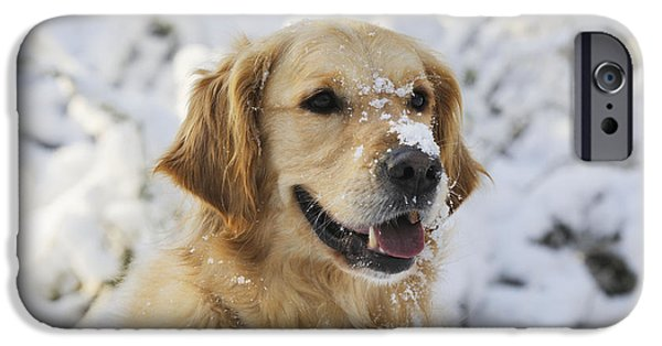 Dog Close-up iPhone Cases - Golden Retriever In Snow iPhone Case by John Daniels