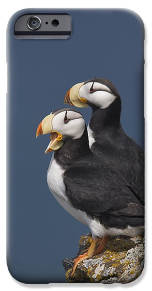 Ledge iPhone Cases - Horned Puffin Pair, One Yawning iPhone Case by Milo Burcham