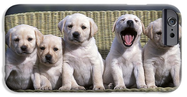 Lazy Dog iPhone Cases - Labrador Retriever Puppies iPhone Case by Rolf Kopfle