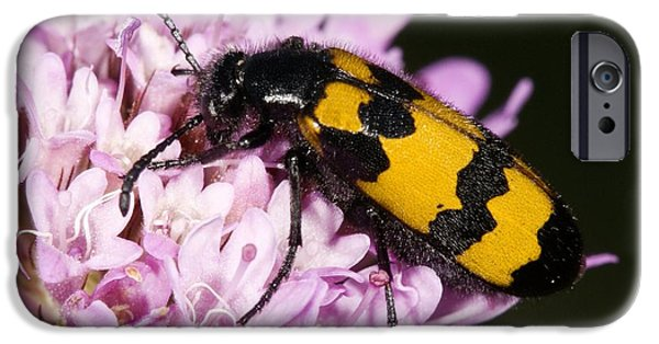 Eating Entomology iPhone Cases - Leaf Beetle iPhone Case by Paul Harcourt Davies