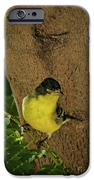 Haybale iPhone Cases - Lesser Goldfinch iPhone Case by Robert Bales