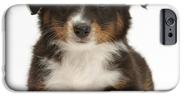 Cute Puppy iPhone Cases - Miniature American Shepherd Puppy iPhone Case by Mark Taylor