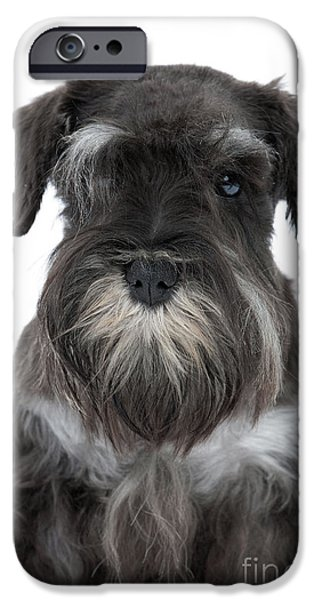 Dog Close-up iPhone Cases - Miniature Schnauzer Puppy iPhone Case by Jean-Michel Labat