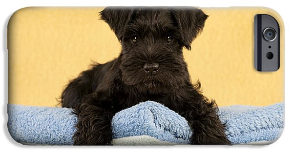 Black Dog iPhone Cases - Miniature Schnauzer Puppy iPhone Case by John Daniels