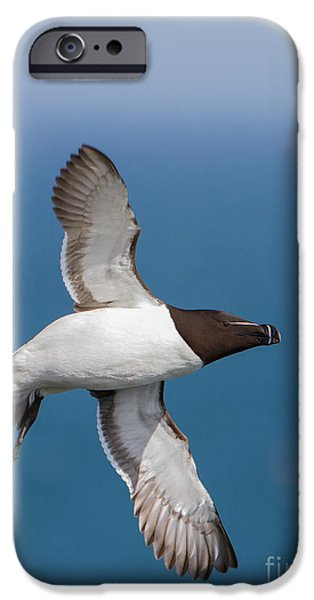 Razorbill iPhone Cases - Razorbill Alca torda  iPhone Case by Gabor Pozsgai