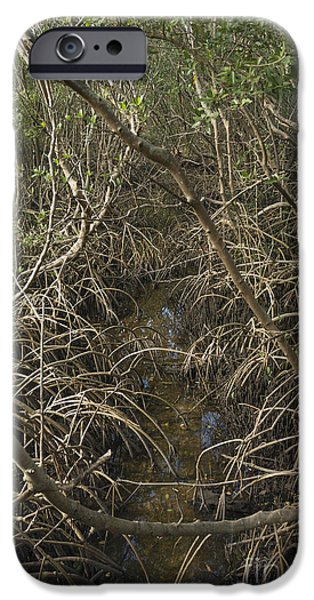 Rhizophora Mangle iPhone Cases - Red Mangrove Rhizophora mangle iPhone Case by John Arnaldi
