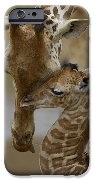 Zoo iPhone Cases - Rothschild Giraffe and Calf iPhone Case by San Diego Zoo