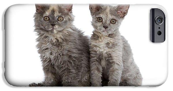 Gray Hair iPhone Cases - Selkirk Rex Kittens iPhone Case by Jean-Michel Labat