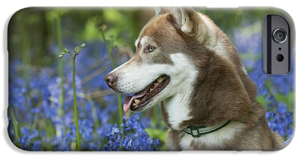 Dog Close-up iPhone Cases - Siberian Husky In Bluebells iPhone Case by John Daniels