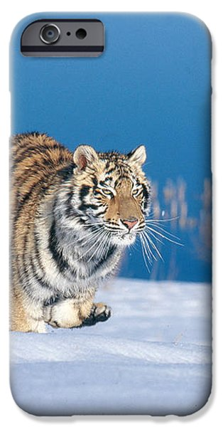 Siberian Tiger iPhone Case by Alan Carey