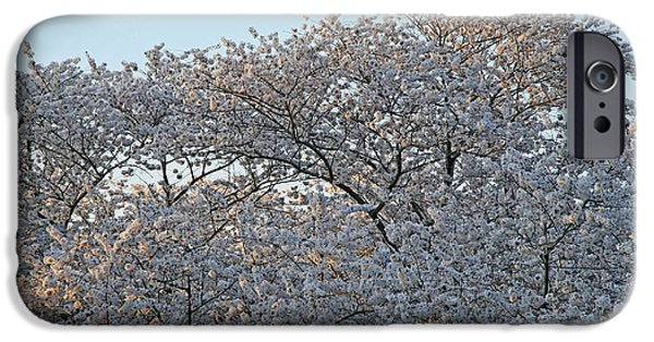 Cora Wandel iPhone Cases - The Simple Elegance Of Cherry Blossom Trees iPhone Case by Cora Wandel