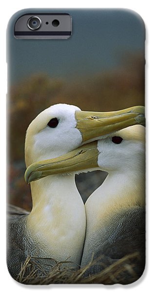 Albatross iPhone Cases - Waved Albatross Pair Bonding Galapagos iPhone Case by Tui De Roy