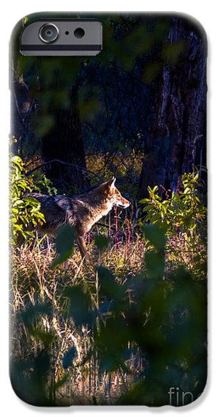 2013 Oct Coyote on the Move iPhone Case by Rick Grisolano Photography LLC