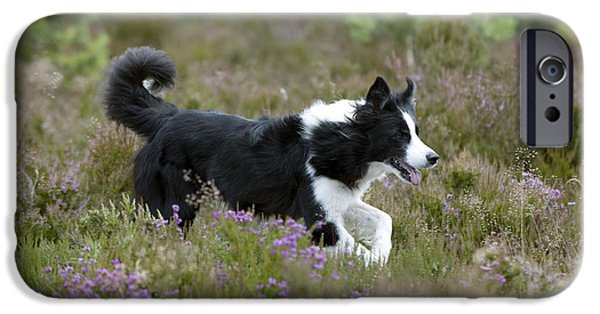 Dog Trots Photographs iPhone Cases - Border Collie iPhone Case by John Daniels