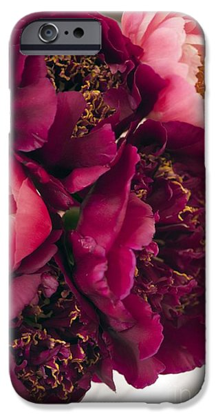 Flower Of Life iPhone Cases - Peony (paeonia Lactiflora) iPhone Case by Maria Mosolova