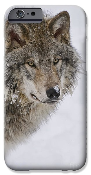 Loup Photos iPhone Cases - Timber Wolf Pictures iPhone Case by Wolves Only