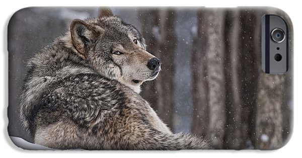 Loup Photos iPhone Cases - Timber Wolf iPhone Case by Wolves Only