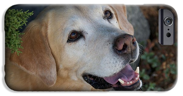 Black Dog iPhone Cases - Yellow Labrador iPhone Case by Steven Lapkin