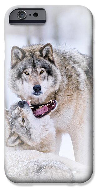 Loup Photos iPhone Cases - Timber Wolf Pictures iPhone Case by Michael Cummings