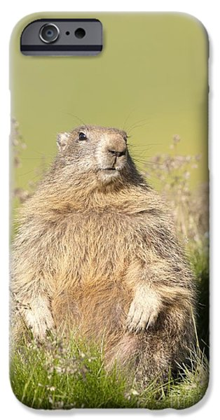 July iPhone Cases - Alpine Marmot iPhone Case by Duncan Shaw