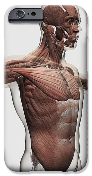 Anatomy Of Male Muscles In Upper Body iPhone Case by Stocktrek Images