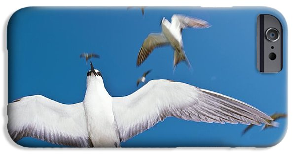 Sea Birds iPhone Cases - Arctic Terns In Flight iPhone Case by Alexis Rosenfeld