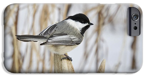 Shed iPhone Cases - Black-capped Chickadee iPhone Case by Linda Freshwaters Arndt