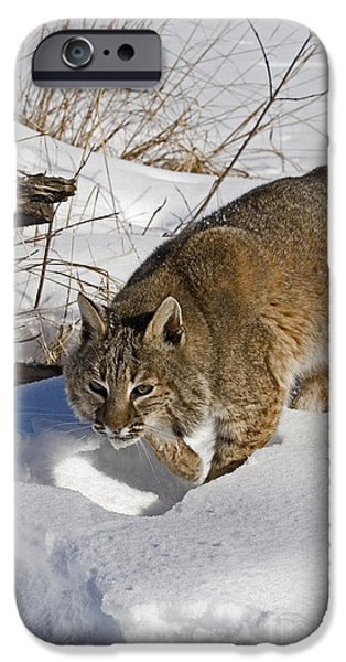 Bobcats Photographs iPhone Cases - Bobcat iPhone Case by Linda Freshwaters Arndt