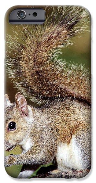 Eastern Gray Squirrel iPhone Case by Millard H. Sharp