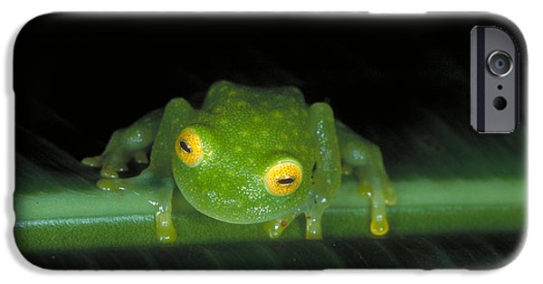 Anuran iPhone Cases - Fleischmanns Glass Frog iPhone Case by Gregory G. Dimijian