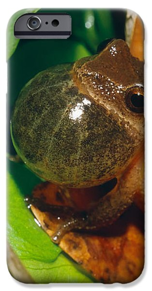 Frog iPhone Case by David Davis