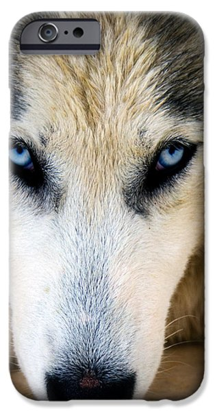 Husky  iPhone Case by Stylianos Kleanthous