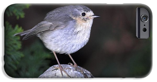 Abnormal iPhone Cases - Leucistic European Robin iPhone Case by Colin Varndell