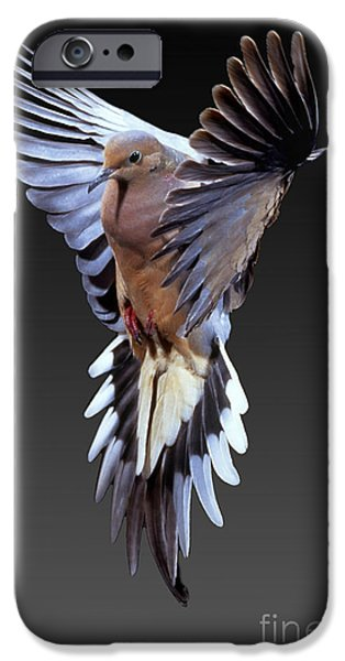 Mourning iPhone Cases - Mourning Dove iPhone Case by Anthony Mercieca