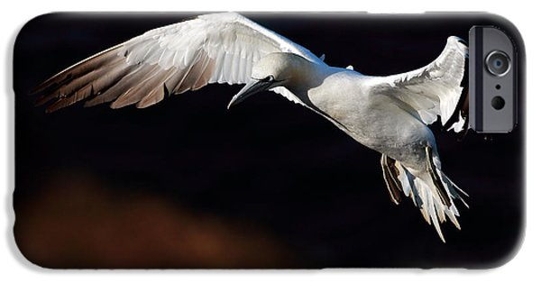 North Sea iPhone Cases - Northern Gannet iPhone Case by Grant Glendinning