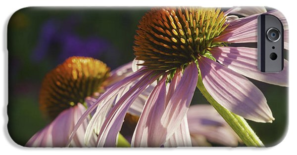 Cone Flower iPhone Cases - Purple Cone Flower Echinacea iPhone Case by Keith Webber Jr